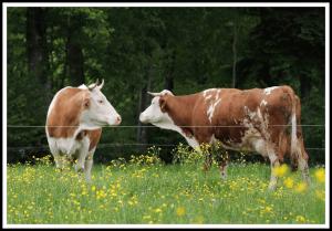 Faires Kozept für Kühe - Bayerische Bauernmilch