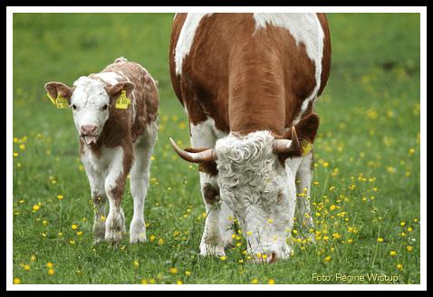 Zuchtverband für Oberbayerisches Alpenfleckvieh Miesbach e.V. - Bayerische Bauernmilch